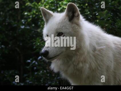 Nahaufnahme der Hudson Bay Wolf (Canis Lupus Hudsonicus) - Stockfoto