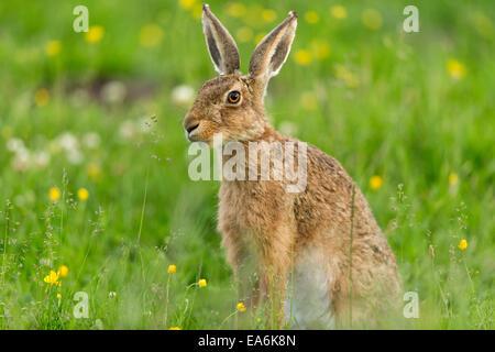 Brauner Hase (Lepus Capensis) Erwachsenen sitzen im Sommerwiese - Stockfoto