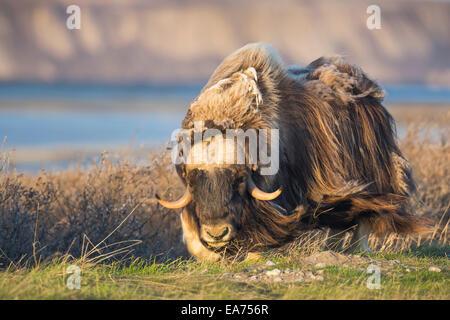 Das lange Deckhaar der Bull Moschusochsen Schläge In den arktischen Wind auf der Küstenebene, Alaska. - Stockfoto