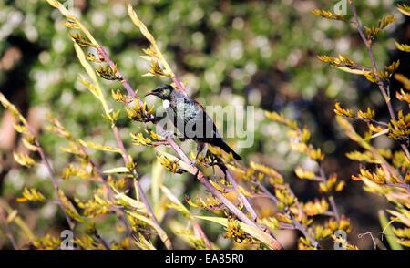 TUI Vogel Fütterung auf Neuseeland Flachs Busch Blume