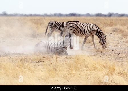 Zebra Rollen auf staubigen weißen Sand. Etosha National Park, Ombika, Kunene, Namibia. Wahre Tierfotografie