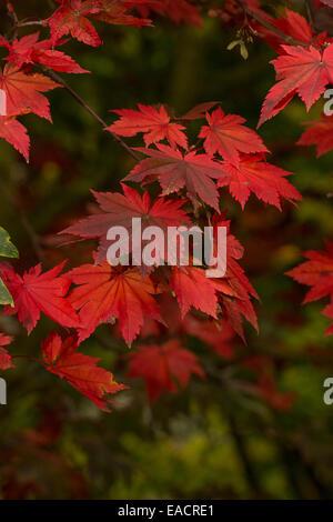 Herbst-Farbe des Downy japanischer Ahorn, Pruhonice, Tschechische Republik, 1. Oktober 2014. (Foto/Zdenek Kiesenbauer - Stockfoto