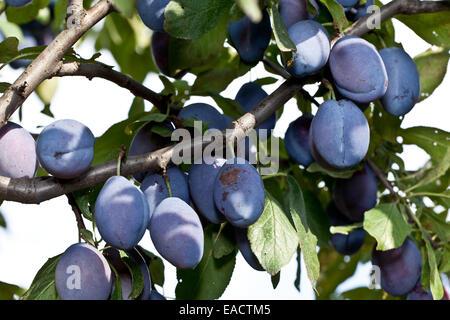 Pflaumen auf dem Baum im Garten. Obst-Hintergrund. - Stockfoto