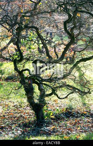 Acer Palmatum var. Dissectum. Glatte japanische Ahorn im Herbst, nachdem die Blätter gefallen sind, zeigt die Struktur - Stockfoto