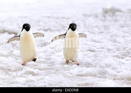 Adelie-Pinguine (Pygoscelis Adeliae), paar, Wandern im Schnee, Devil Island, Antarktis - Stockfoto