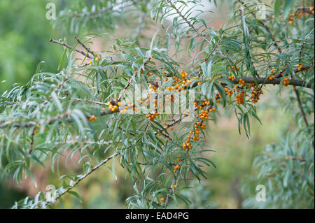 Sanddorn, Hippophae Rhamnoides, Orange Thema, grünen Hintergrund. - Stockfoto