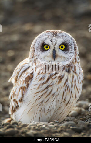 Alaska, Arktis, Portrait, kurze Eared Owl - Stockfoto