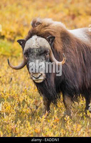 Moschusochsen auf der arktischen Norden von Alaska. - Stockfoto