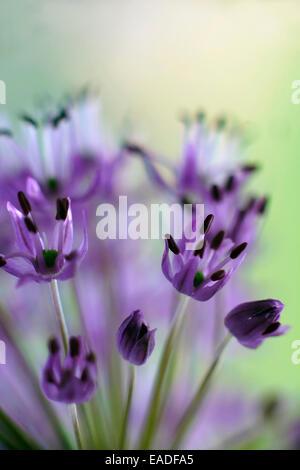 allium aflatunense 39 purple sensation 39 bl hende zwiebeln unter den gr sern stockfoto bild. Black Bedroom Furniture Sets. Home Design Ideas