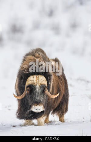 Bull Moschusochsen auf dem Schnee bedeckt Tundra der Arktis Nordhang, Alaska - Stockfoto