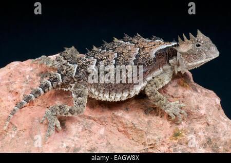 Riesige Krötenechsen / Phrynosoma Asio - Stockfoto
