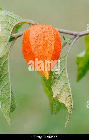 Blase Kirsch- oder chinesische Laterne (Physalis Franchetii, Physalis Alkekengi), Obst, North Rhine-Westphalia, - Stockfoto