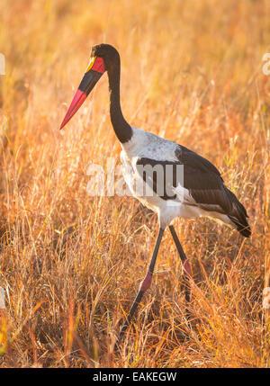 Krüger-Nationalpark, Südafrika - Sattel – abgerechnet Storch im Rasen. - Stockfoto
