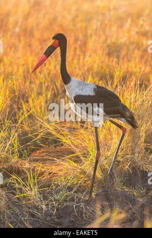 Krüger-Nationalpark, Südafrika - Sattel – abgerechnet Storch Gras am frühen Morgen. - Stockfoto