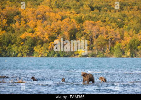 Braunbär-Sau und Triplett Frühling Cubs In Naknek Lake, Katmai Nationalpark, Alaska. - Stockfoto