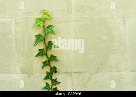 Efeu Pflanze, die an der Wand Stockfoto
