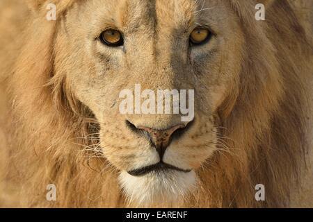 Löwe (Panthera Leo), mit einer Mähne, Porträt, Ngorongoro, Serengeti, Tansania Stockfoto