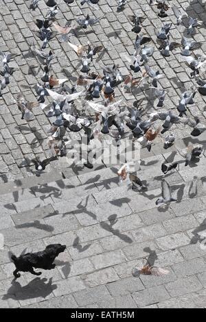 Ein Hund jagt die Tauben über Square in San Francisco. - Stockfoto