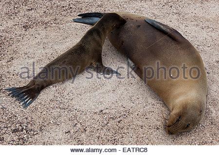 Eine Galapagos-Seelöwen ernährt seine Welpen im Galapagos National Park. - Stockfoto
