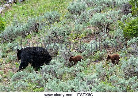 Zimt schwarz Bärenjungen Folgen ihrer Mutter durch den Salbei Pinsel. - Stockfoto