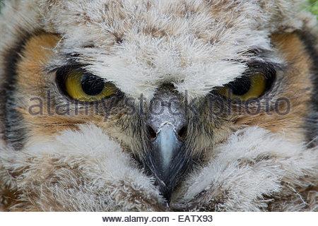 Die Augen eine große gehörnte Owlet. - Stockfoto