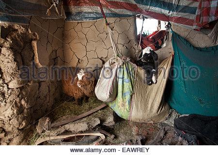 Junge oder kranke Ziegen und Lämmer im Innenbereich befinden sich in Stoff-Taschen im Winter während der Herden - Stockfoto