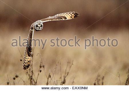 Eine kurze eared Eule auf der Jagd. - Stockfoto