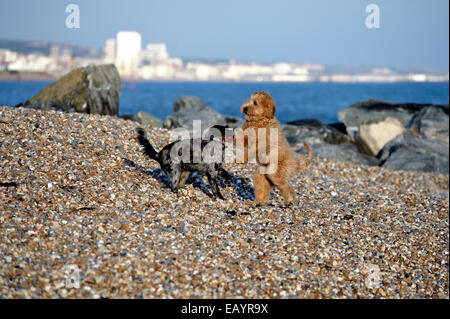 Zwei Welpen spielen am Strand - Stockfoto