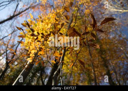 Hellen Sonne durch hohe Bäume und herbstliche Blätter mit goldenem Licht in die Priorei Haine, Brecon - Stockfoto