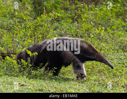 Großer Ameisenbär (Myrmecophaga Tridactyla), auf der Suche nach Ameisen & Termiten im Pantanal, Mato Grosso do Sul, - Stockfoto