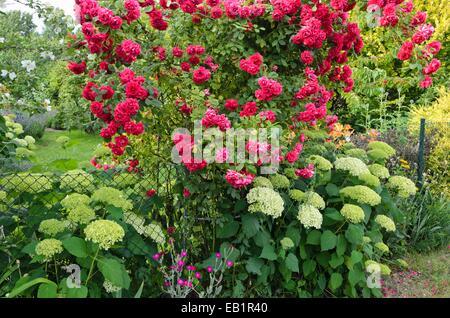 Rosen (Rosa) und Hortensien (Hydrangea) - Stockfoto