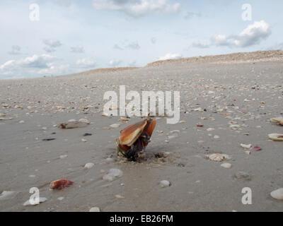 Ein live kämpfen Muschel kriecht entlang des Strandes im Lovers Key State Park, ft. Myers, Florida, USA, 6. Oktober - Stockfoto