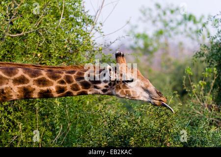 Eine südliche retikuliert Giraffe verwendet es ist lange Zunge ziehen Blätter von einem Strauch. - Stockfoto
