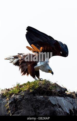 Ein African Fish Eagle spannt seine Flügel Vorbereitung bis zum Abflug. - Stockfoto