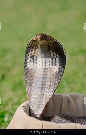 Indische Kobra, asiatischen Cobra oder Spectacled Cobra (Naja Naja) in eines Schlangenbeschwörer Korb, New Delhi, - Stockfoto