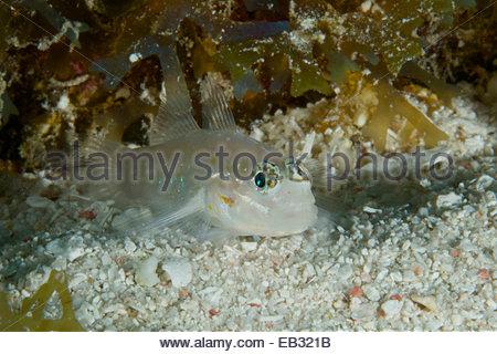 Ein gezügelten Grundel (Coryphopterus Glaucofraenum) auf das Belize Barrier Reef. Unterwasserwelt ist reichlich - Stockfoto