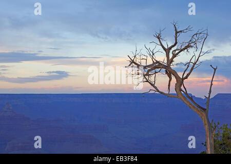 Grand Canyon-Baum bei Sonnenuntergang - Stockfoto