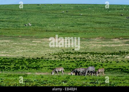 Eine Herde von Zuschüssen Zebra auf der riesigen kurze Grasebenen der Savanne grasen.