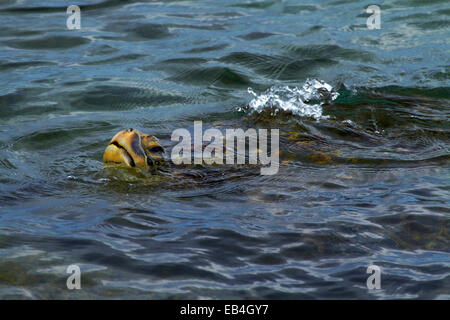 Grüne Meeresschildkröte (Chelonia Mydas), Laniakea Beach (Turtle Beach), North Shore, Oahu, Hawaii, USA - Stockfoto