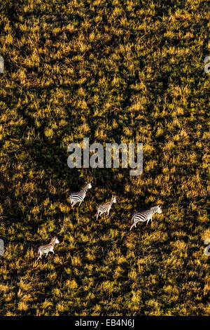 Eine Luftaufnahme einer Herde von Grant Zebra Migration und Weiden auf der weiten kurzen Rasen Savanne schlicht - Stockfoto