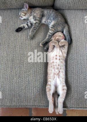 Zwei kurzhaarige Hauskatzen schlafen zusammen - Bruder/Schwester - Stockfoto