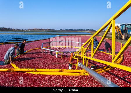 Cranberry Ernte Operations bei Vilas Cranberry Co., Marsh in Manitowish Waters, Wisconsin, USA - Stockfoto