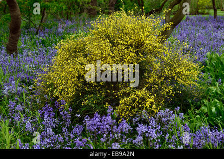 cytisus scoparius gelbe blumen bl te glockenblumen fr hling display kontrast cpontrasting farbe. Black Bedroom Furniture Sets. Home Design Ideas
