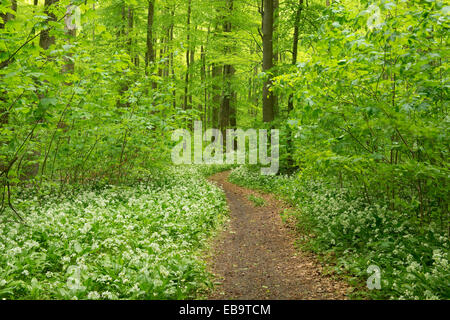 b rlauch im fr hjahr wald allium ursinum stockfoto bild 276881622 alamy. Black Bedroom Furniture Sets. Home Design Ideas