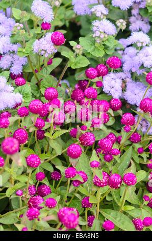 Globus Amaranth (gomphrena Nana) und Glasschlacke Blume (Aeschynanthus Jack) - Stockfoto