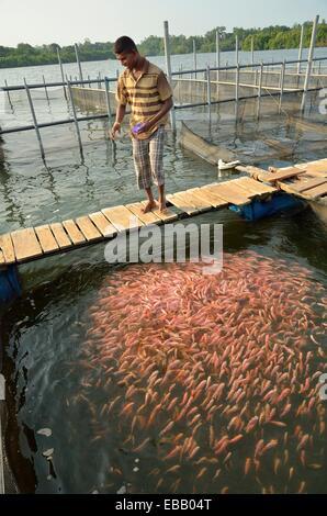Fischzucht in der Mündung des Madu Ganga Fluß Balapitiya, Sri Lanka - Stockfoto