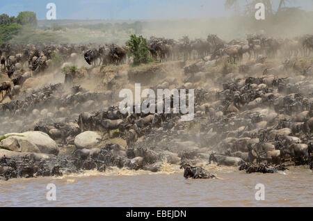 Herde von Gnus (Connochaetes Taurinus), die Überquerung des Mara Flusses, Serengeti Nationalpark, Tansania. - Stockfoto
