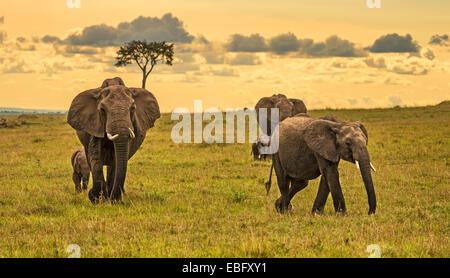 Eine Herde Elefanten (Loxodonta Africana) mit zwei Babys, Masai Mara National Reserve, Kenia - Stockfoto