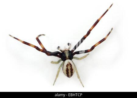 Ein männlicher Goldrute Crab spider (Misumena vatia) auf weißem Hintergrund. Familie, thomisidae Crab Spiders. Misumena - Stockfoto