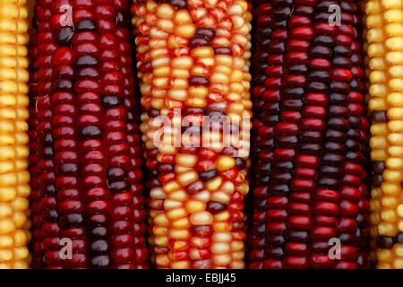 "Indian, Mais (Zea Mays, Zea Mays ""Multicolor"", Zea Mays Multicolor), Mulicolored Mais Maiskolben, springende Gene - Stockfoto"